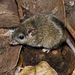 Common Rock Rat - Photo (c) Robert Whyte, some rights reserved (CC BY-NC-ND)