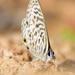 Leptotes pirithous pirithous - Photo (c) janaohrner, algunos derechos reservados (CC BY-NC)
