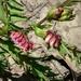 Vicia gigantea - Photo (c) SuzanneBlack, osa oikeuksista pidätetään (CC BY-NC-ND)