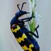 Hycleus zigzagus - Photo (c) janaohrner, alguns direitos reservados (CC BY-NC)