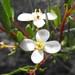 Cneoridium dumosum - Photo Stickpen, sin restricciones conocidas de derechos (dominio público)