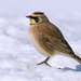 Larks - Photo (c) Eric Bégin, some rights reserved (CC BY-NC-ND)