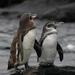 Pingüino de Galápagos - Photo (c) ConstantineD, algunos derechos reservados (CC BY-NC-ND)