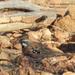 Cinclosoma castaneothorax - Photo (c) Marie Tarrant, alguns direitos reservados (CC BY-NC)