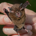 Rhinolophus borneensis - Photo (c) Dave Bennett, μερικά δικαιώματα διατηρούνται (CC BY-NC-SA)