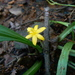 Golden-eyed Grass - Photo (c) Dinesh Valke, some rights reserved (CC BY-NC-ND)
