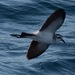 White-faced Storm-Petrel - Photo (c) Jason Forbes, some rights reserved (CC BY-NC-ND)