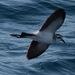 Pelagodroma marina - Photo (c) Jason Forbes, μερικά δικαιώματα διατηρούνται (CC BY-NC-ND)