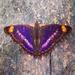 Mariposa Emperador Pavón - Photo (c) Javi Gonzalez, algunos derechos reservados (CC BY-NC)