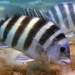 Sheepshead - Photo (c) Kevin Bryant, some rights reserved (CC BY-NC-SA)