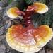 Ganoderma tsugae - Photo (c) smoore13, algunos derechos reservados (CC BY-NC)