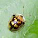 Escarabajo Tortuga Abigarrada - Photo (c) Cheryl Harleston López Espino, algunos derechos reservados (CC BY-NC-ND)