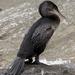 Cormorán de Las Galápagos - Photo (c) Laura Gooch, algunos derechos reservados (CC BY-NC-ND)