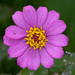 Zinnia - Photo (c) Christoph Diewald, some rights reserved (CC BY-NC-ND)