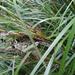 Gahnia lacera - Photo Δεν διατηρούνται δικαιώματα