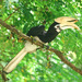 Oriental Pied Hornbill - Photo (c) Tan Kok Hui, some rights reserved (CC BY-NC)