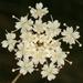 Perideridia gairdneri - Photo (c) Lynette Schimming, algunos derechos reservados (CC BY-NC)