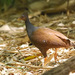 Orange-footed Scrubfowl - Photo (c) Tan Kok Hui, some rights reserved (CC BY-NC)