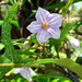 Solanum aviculare - Photo Δεν διατηρούνται δικαιώματα