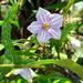 Solanum aviculare - Photo no hay derechos reservados
