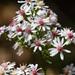 Symphyotrichum cordifolium - Photo (c) Tom Potterfield, algunos derechos reservados (CC BY-NC-SA)