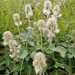 Hedysarum grandiflorum - Photo (c) Михаил Кривошеев / Mikhail Krivosheev, alguns direitos reservados (CC BY-NC)