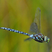 Subarctic Darner - Photo (c) Denis Doucet, some rights reserved (CC BY-NC)