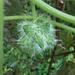 Pepino Estrella - Photo (c) botanygirl, algunos derechos reservados (CC BY), uploaded by botanygirl