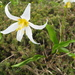 Avalanche Lily - Photo (c) J Brew, some rights reserved (CC BY-SA), uploaded by John Brew