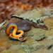 Ring-necked Snake - Photo (c) Joseph Baecher, some rights reserved (CC BY-NC), uploaded by Alex Baecher