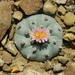 Peyote - Photo (c) Jóse Flores Ventura, some rights reserved (CC BY-NC)