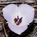 Plain Mariposa Lily - Photo (c) Bill Bouton, some rights reserved (CC BY-NC)