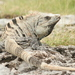 Black Spiny-tailed Iguana - Photo (c) Sandra Eglīte, some rights reserved (CC BY-NC)