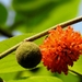 Paper Mulberry - Photo (c) Suhel Quader, some rights reserved (CC BY)