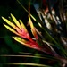 Cardinal Airplant - Photo (c) floridensis, some rights reserved (CC BY-NC)
