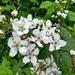 Rubus allegheniensis - Photo (c) agbelliveau,  זכויות יוצרים חלקיות (CC BY-NC)