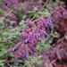 Salvia semiatrata - Photo (c) FarOutFlora, algunos derechos reservados (CC BY-NC-ND)
