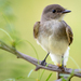 Eastern Phoebe - Photo (c) Kerry Carloy, some rights reserved (CC BY-NC)