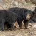 Indian Sloth Bear - Photo (c) Yuwaraj Gurjar, some rights reserved (CC BY-NC)