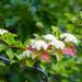 Viburnum nudum - Photo (c) Melissa McMasters, algunos derechos reservados (CC BY)