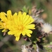 Bristly Oxtongue - Photo (c) Arthur Chapman, some rights reserved (CC BY-NC-SA)