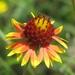 Gaillardia aestivalis - Photo (c) mlhradio, algunos derechos reservados (CC BY-NC)