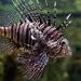 Pterois - Photo (c) Domonkos Kiss, some rights reserved (CC BY-NC-SA)