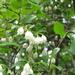 Vaccinium arboreum - Photo (c) Kid Cowboy, algunos derechos reservados (CC BY-SA)