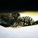 Myoxocephalus - Photo (c) Bernd Kirschner,  זכויות יוצרים חלקיות (CC BY-NC-SA)