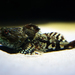 Myoxocephalus - Photo (c) Bernd Kirschner, algunos derechos reservados (CC BY-NC-SA)