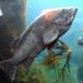 Sebastidae - Photo (c) Travis, algunos derechos reservados (CC BY-NC)