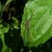 Hygropoda - Photo (c) aswad andriyanto, algunos derechos reservados (CC BY-NC)