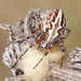 Aculepeira armida - Photo (c) Sarah Gregg, some rights reserved (CC BY-NC-SA)