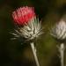 Cirsium occidentale venustum - Photo (c) randomtruth, algunos derechos reservados (CC BY-NC-SA)